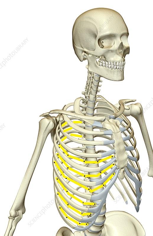 Intercostal nerve