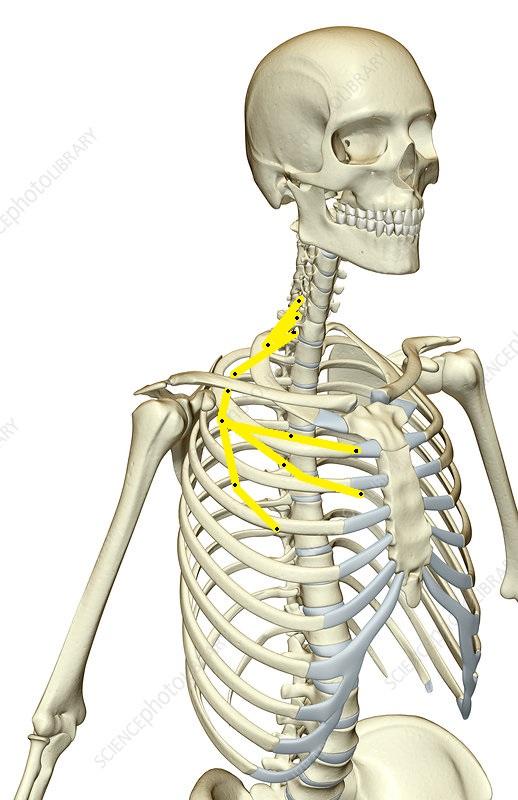 Pectoral nerve